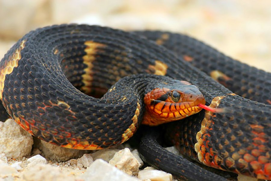 The banded water snake inhabits freshwater lakes and streams in the Southeastern United States.