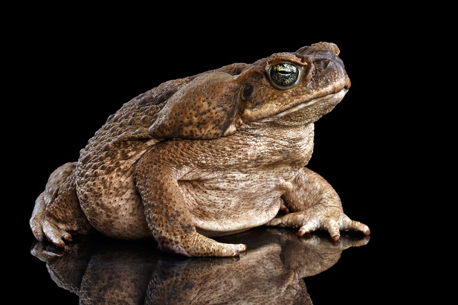 The cane toad can reach 4-6 inches long. It is particularly poisonous to dogs.