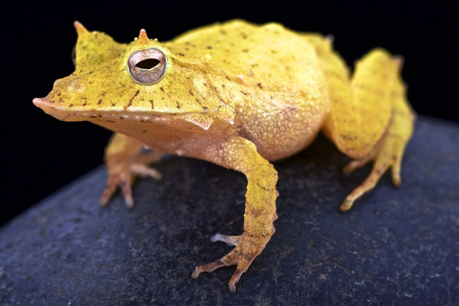The Solomon Island leaf frog has a loud call and eats crickets. Its body shape helps keep it camouflaged among leaf litter.