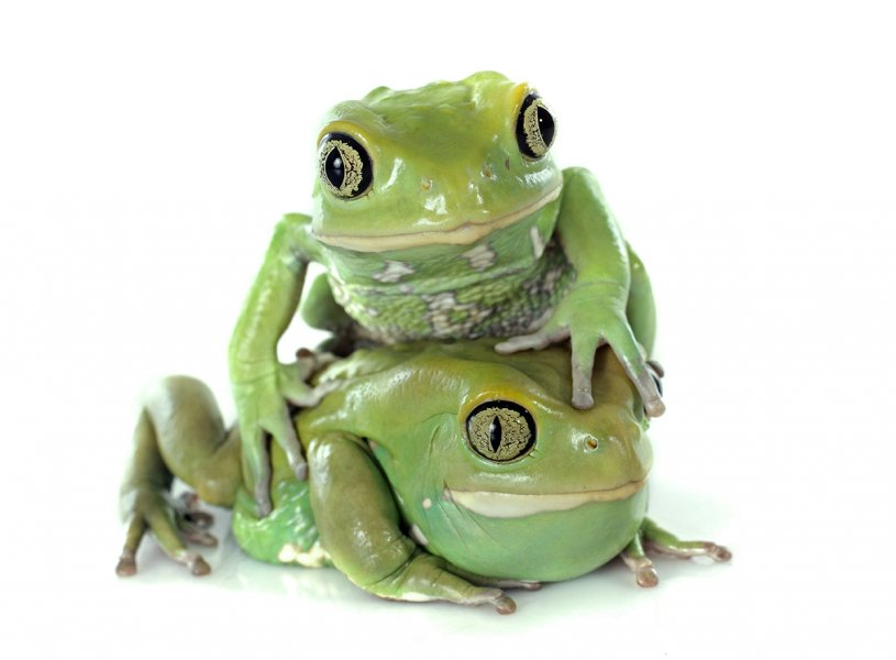 The milky tree frog is native to the Amazon Rainforest. These frogs secrete a milky substance when stressed.