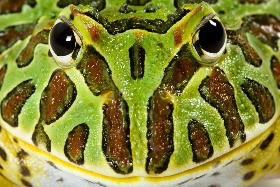 The PAC-man frog is named for its large mouth. It is a voracious eater. Adults can consume a whole rat!