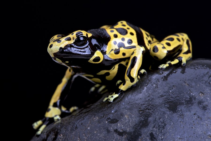 The poison dart frog is small and beautiful but deadly! Neurotoxins in the frog's skin interfere with nerve impulses, which can lead to heart failure. Don't worry, our poison dart frog will be harmless.