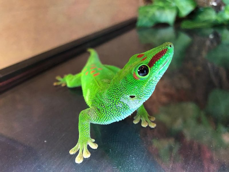 Not all geckos are nocturnal, some like to come out during the day, like this colourful Madagascar giant day gecko. His bright colours may seem obvious, but his speed and ability to blend in with leaves and foliage help him to escape most predators!